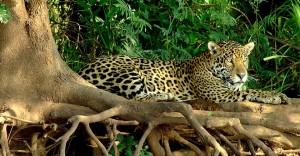 Jaguar, The Pantanal