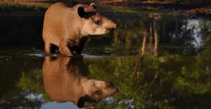 Tapir, The Pantanal
