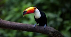 Toucan, The Pantanal