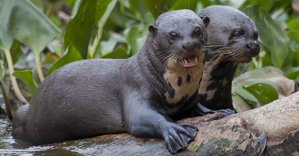 Otter, The Pantanal