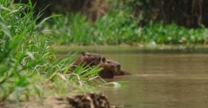 Capybaras, Pantanal
