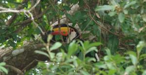 Toco Toucan, Pantanal