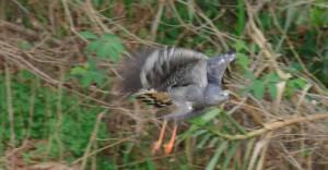 Hawk in Pantanal