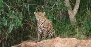 Jaguars in Brazil