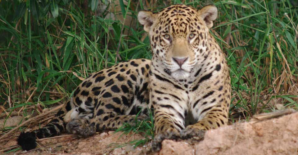 Jaguar, The Pantanal in Brazil