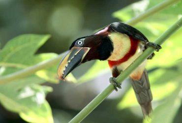 Aracari, The Amazon in Brazil