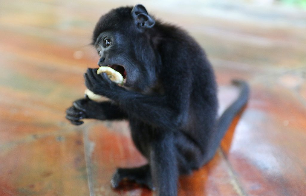 It's not everyday you get to share breakfast with a baby howler monkey- Amazon , Brazil