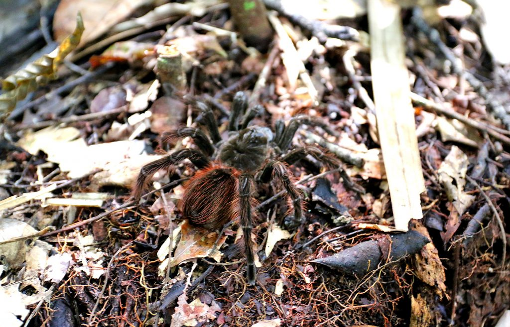 A huge tarantula we found on a walk in Amazon Brazil