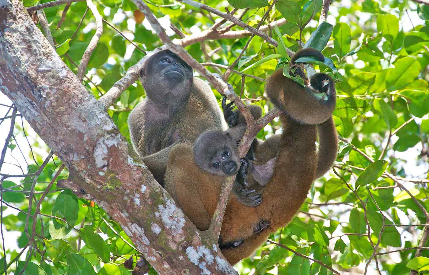 Woolly Monkeys in the canopy of the Amazon Rainforest in Brazil