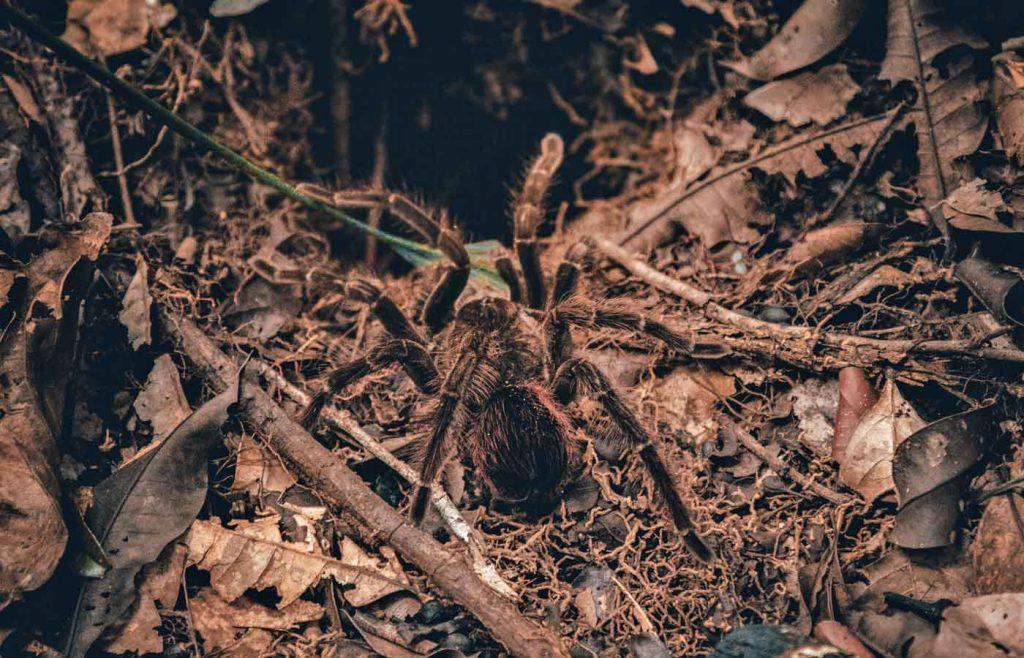 spider -tarantula in amazon Brazil