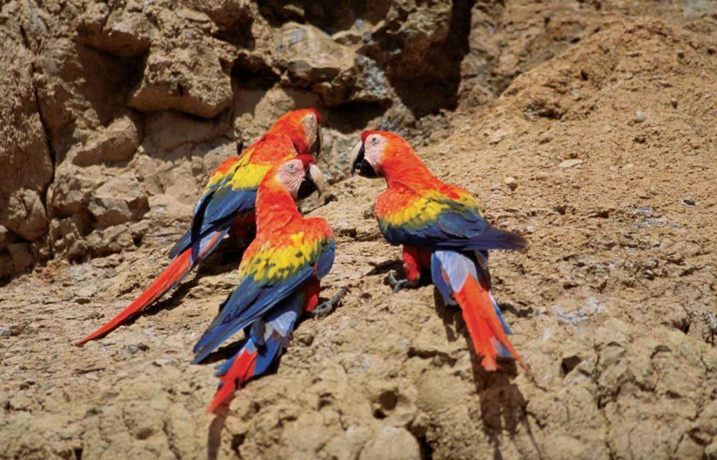 birds-Scarlet macaws Amazon- Brazil