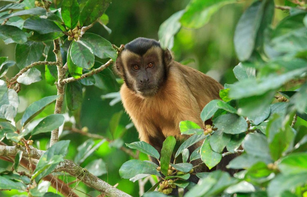 Capuchin-Monkey- Amazon -Brazil
