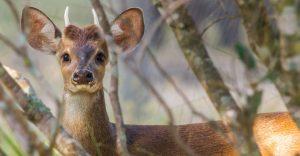 A deer in the Brazilian cerrado in Brazil