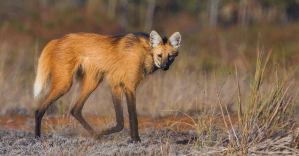 Maned wolf at Pousada Trijuncao in the cerrado in Brazil