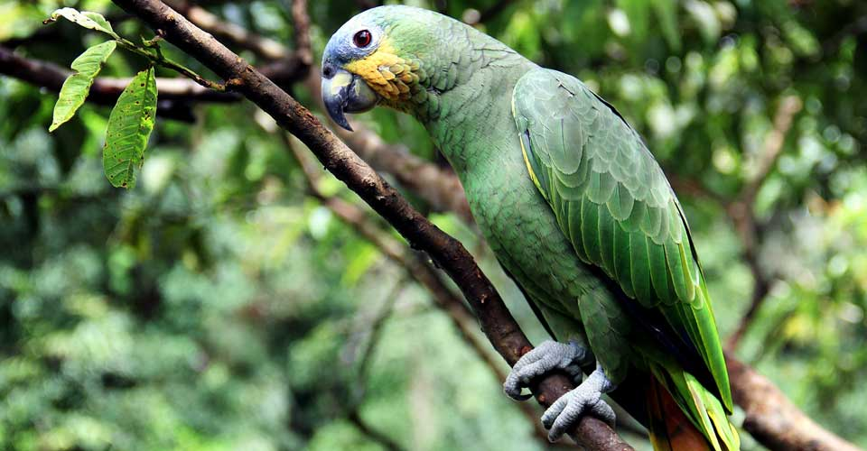 A green parrot in the Amazon
