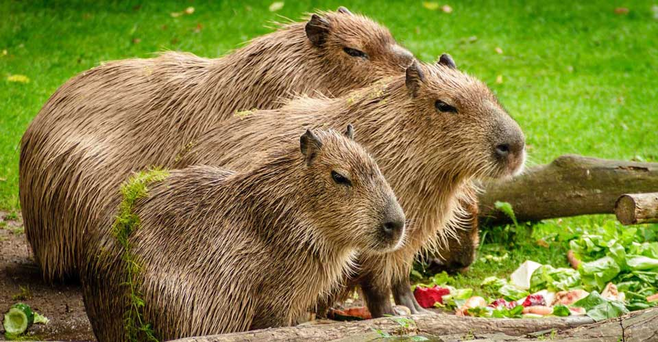 Luxury wildlife trip to Brazil - Capybara one of the main species in the Brazilian Pantanal