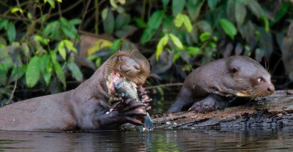 The largest otter species - the Giant River Otter in the Brazilian Amazon