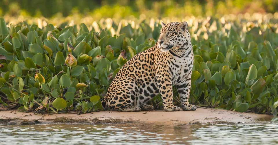 A jaguar in the Brazilian Pantanal - luxury wildlife holidays to Brazil