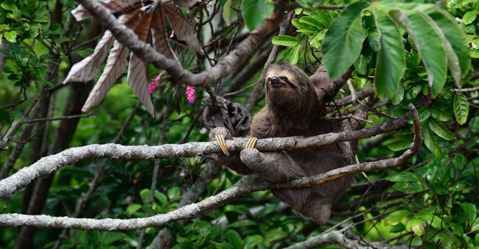 A charming sloth in the jungle canopy