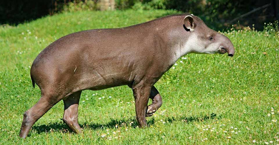 A Brazilian, or maned, tapir