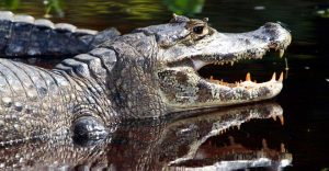 Caiman in the Brazilian Pantanal