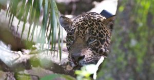 Jaguar in the Brazilian Pantanal