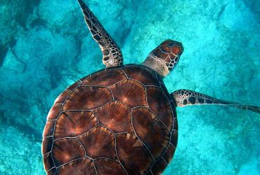 Sea turtle - marine wildlife - northern Brazil, Fernando de Noronha