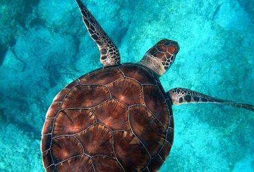 Sea turtle - marine wildlife - northern Brazil, Fernando de Noronha